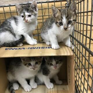 元気なサバトラ白仔猫《5匹のうち4匹トライアル中です》大切に飼って...