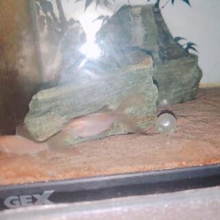鉄魚とドジョウ