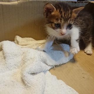 生後一か月以内の猫の里親を探しています。