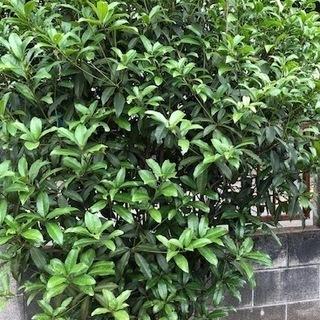 銀木犀 庭木 目隠しになる木