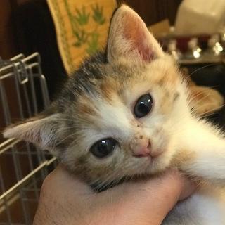 母猫事故死の子三毛♀1か月半くらい