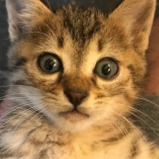 母猫事故死の子キジトラ♀1か月半くらい