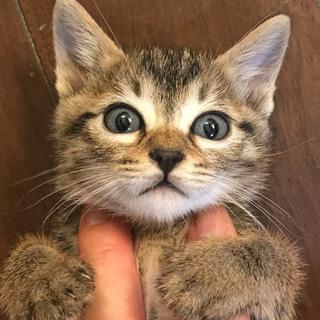 母猫事故死の子キジトラ(2匹目)♀1か月半くらい