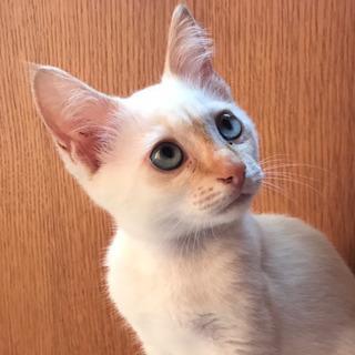 ☆元気な雄猫4ヶ月弱☆白毛の青目
