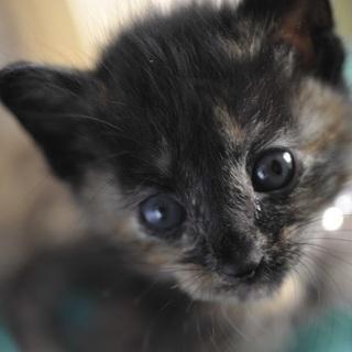 サビ メス? 野良の子猫 生後約2〜3週間? 飼い主不在を確認済み