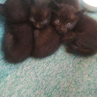 生まれて間もない黒の子猫(里親全て決まりました)