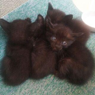 生まれて間もない黒の子猫(里親全て決まりました) - 熊本市