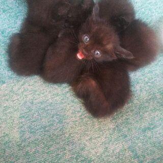 生まれて間もない黒の子猫(里親全て決まりました) - 猫
