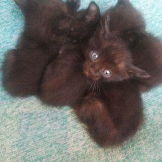 生まれて間もない黒の子猫(里親全て決まりました) − 熊本県