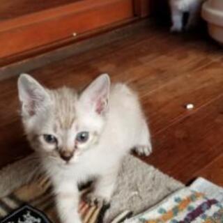 【交渉中】子猫2ヶ月里親募集