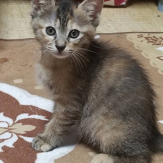推定1ヶ月過ぎのキジ柄の女の子猫ちゃんの里親募集!(堅田から近い方優先)の画像