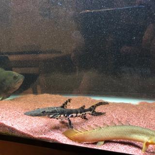 【値引き】タイガーシャベルノーズキャット 他 整理の為 熱帯魚 生体