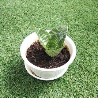 空気清浄力のあるエキゾチックな観葉植物 サンスベリア・ハニー01