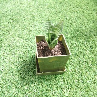 空気清浄力のあるエキゾチックな観葉植物 サンスベリア・ハニー03