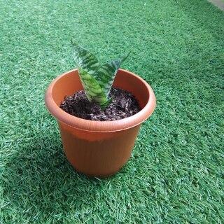 空気清浄力のあるエキゾチックな観葉植物 サンスベリア・ハニー05