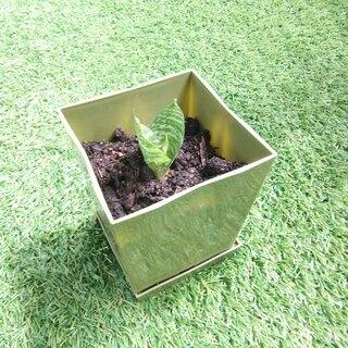 空気清浄力のあるエキゾチックな観葉植物 サンスベリア・ハニー06