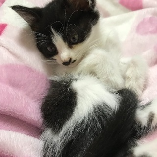 1カ月半のメス、子猫の里親募集
