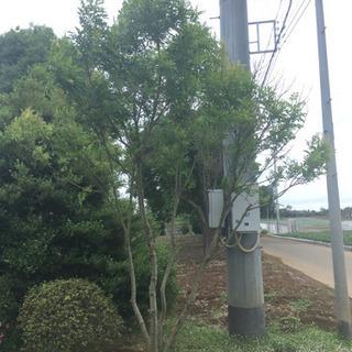 シマトネリコ高さ3.5メートル  0円