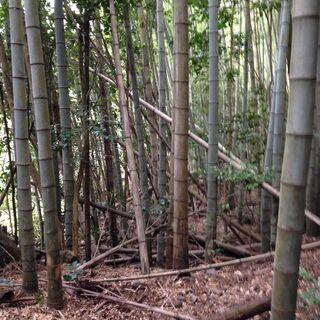 孟宗竹の竹林を無料で間伐します
