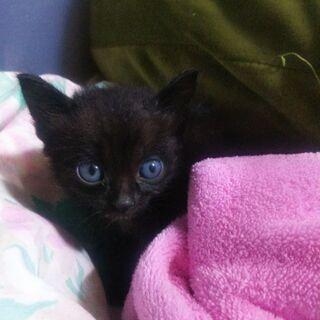 生まれて間もない黒の子猫(里親全て決まりました) - 里親募集