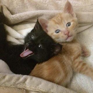 2匹の姉妹猫ちゃんの里親さん募集