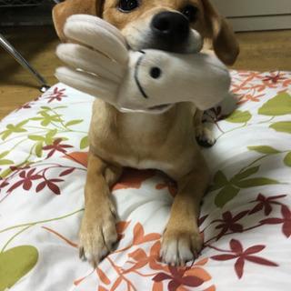 柴犬とビーグルのMIX 男の子