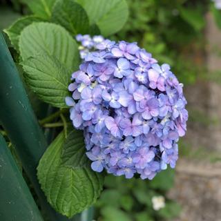 紫陽花おすそ分けしてください