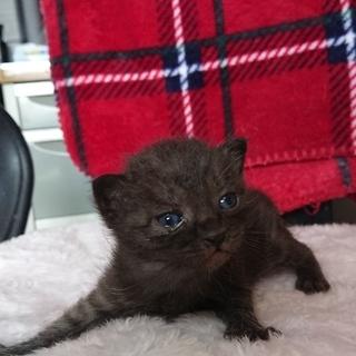 💛生後1か月の子猫ちゃんの里親さま探しております!