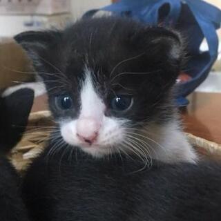 ハチワレ♂  黒4匹♀ 生後5,6週ぐらい