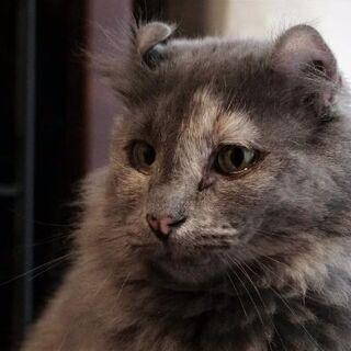 繁殖リタイア猫、アメリカンカールのジーナ
