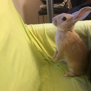 3/7に産まれたウサギの赤ちゃんの里親さん募集