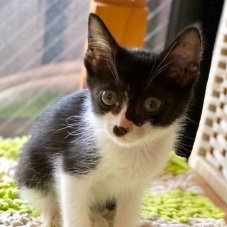 可愛いハチワレ子猫
