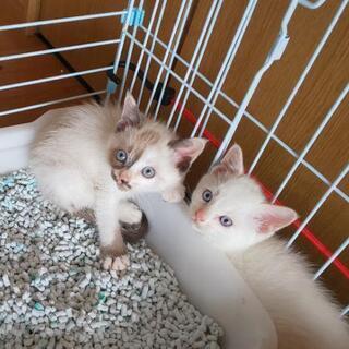 2匹の兄弟仔猫の里親募集