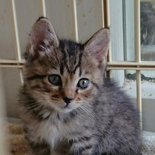 仲良し姉妹シャム系とキジ 2ヶ月 - 猫