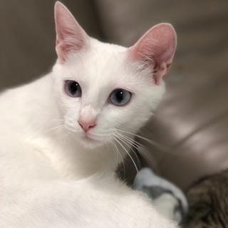 生後半年の可愛い白猫さん