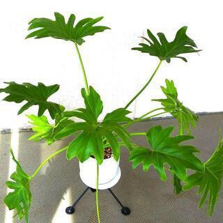 インテリア植物、セローム陶器鉢