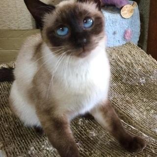 シャム風な猫さんです♪