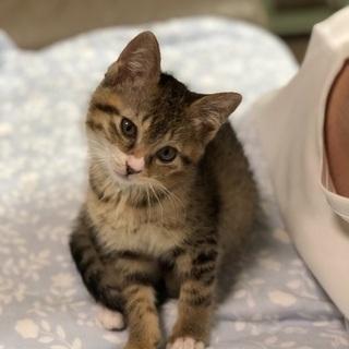 生後2ヶ月の可愛いキジ猫