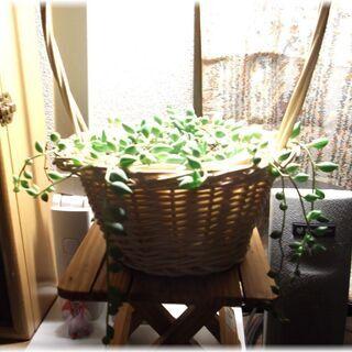 【多肉植物】グリーンネックレスの籠アレンジメント( ˊᵕˋ )♡.°⑅