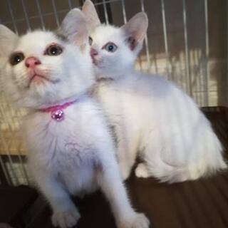 ブルーアイ白猫&白三毛猫姉妹一緒に里親様決定しました。