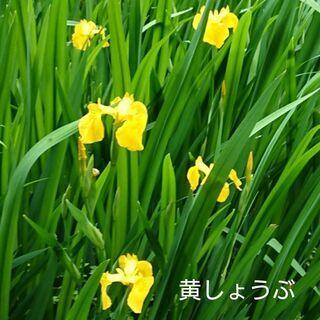 ❣️黄しょうぶ【送料無料】❣️黄菖蒲❣️黄ショウブ 株分 5株