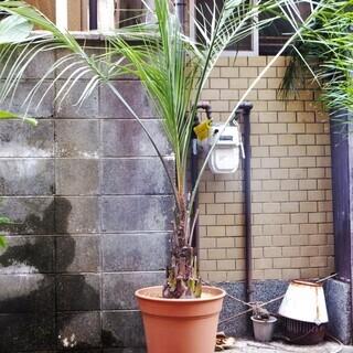 (引き取り決定 ありがとうこざいましま)観葉植物 ココスヤシ 耐...