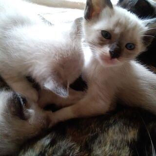 仔猫 元気でなつっこい 5/14産まれ 三毛猫 靴下猫 メス2匹 里親さま大募集中です。 - 猫