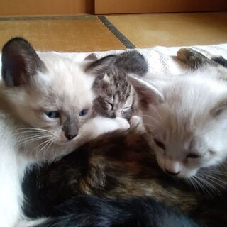 仔猫 元気でなつっこい 5/14産まれ 三毛猫 靴下猫 メス2匹 里親さま大募集中です。 − 北海道