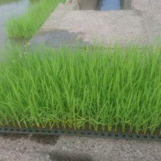 バケツ稲 無農薬苗 自由研究に!コシヒカリ、モチ、古代米