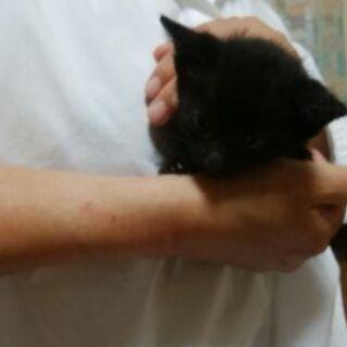 5月上旬生まれの黒猫の子猫です。他...