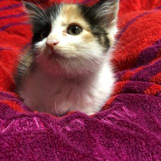 生後1か月の三毛猫ちゃん♀「メス」