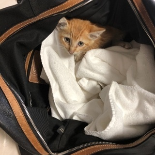 【6/14更新】茶トラ 男の子 生後1ヶ月 足に怪我 保護猫