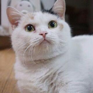 ブリーダー引退猫さん5才短足マンチカン女子