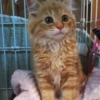 2ヶ月洋猫ミックスご希望多数につき一旦停止します。
